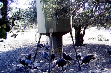 Turkeys at Feeder