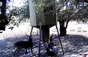 Whitetail Buck & Turkeys