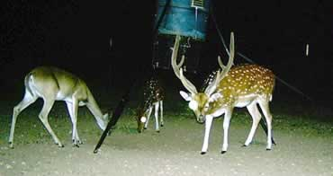 Axis Buck & Whitetail Doe